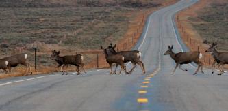 Ungulate Migration Red Desert to Hoback Migration