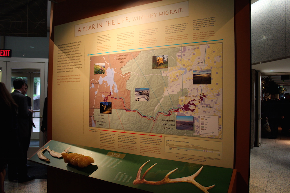 Arthur Middleton and Joe Riis tracked elk in the Cody herd to provide the majority of the content in the exhibit. The herd moves from Meeteetse to the Thorofare each spring and fall.